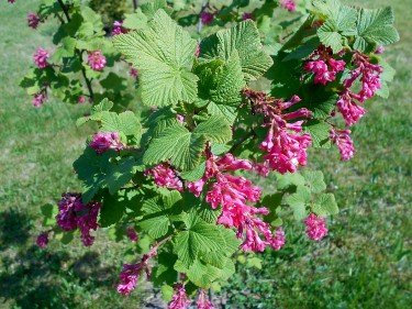 fast growing shrubs easy beginners guide Ribes Sanguineum