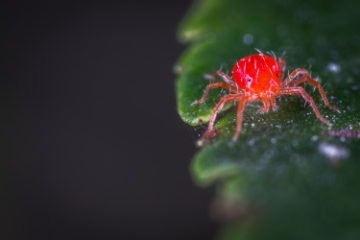 Spider Mites 11 Actionable Tips 4