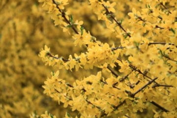 Forsythia: Facts,Care,5 Tips Bushes 4