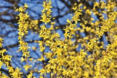 forsythia leaves and braches