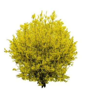 forsythia bush trimmed