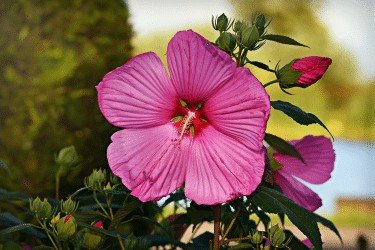 Hibiscus A Beginner's Intro Benefits, Uses, & Tips 1