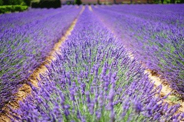 how to make lavender essential oil lavender field