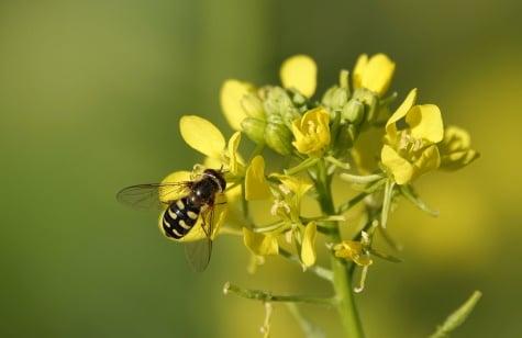 mustard plant bee pollinating flower