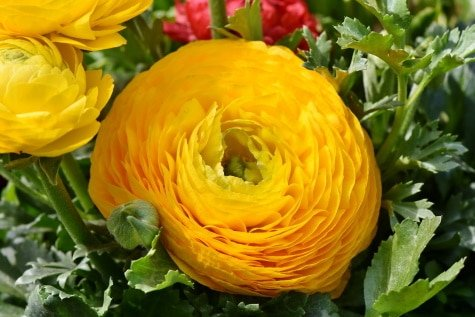 ranunculus flower yellow