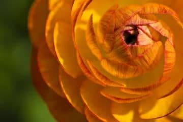 Ranunculus|Growing|Facts|9 Tips 5