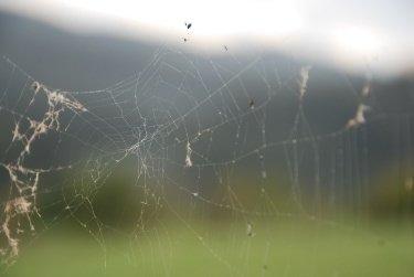 spider mites web