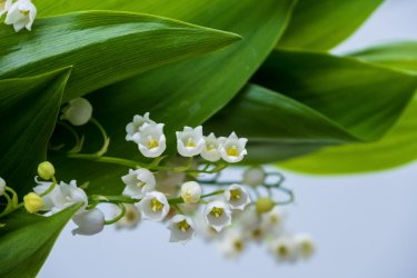 Lily of the valley close up shot