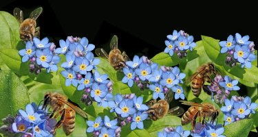 forget me nots flowers with bees