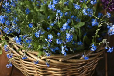 forget me nots in a wicker basket indoors