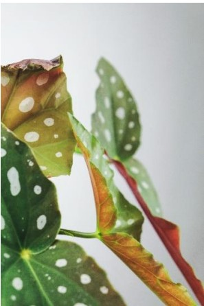 HOW TO CARE BEGONIA MACULATE PLANT? TIPS AND GUIDES FROM GARDENING FEVER 2