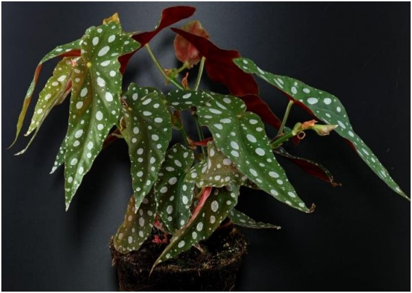 HOW TO CARE BEGONIA MACULATE PLANT? TIPS AND GUIDES FROM GARDENING FEVER 1