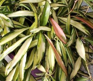 Hoya Kentiana in a pot