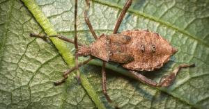 easily get rid of squash bugs squash bug