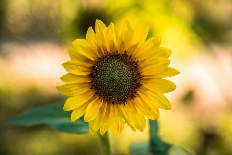 Sunflower Leaves