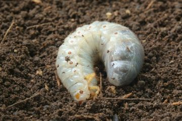 white worms in soil
